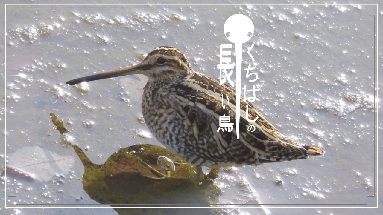 くちばしの長い鳥を12種類、写真付きで紹介!
