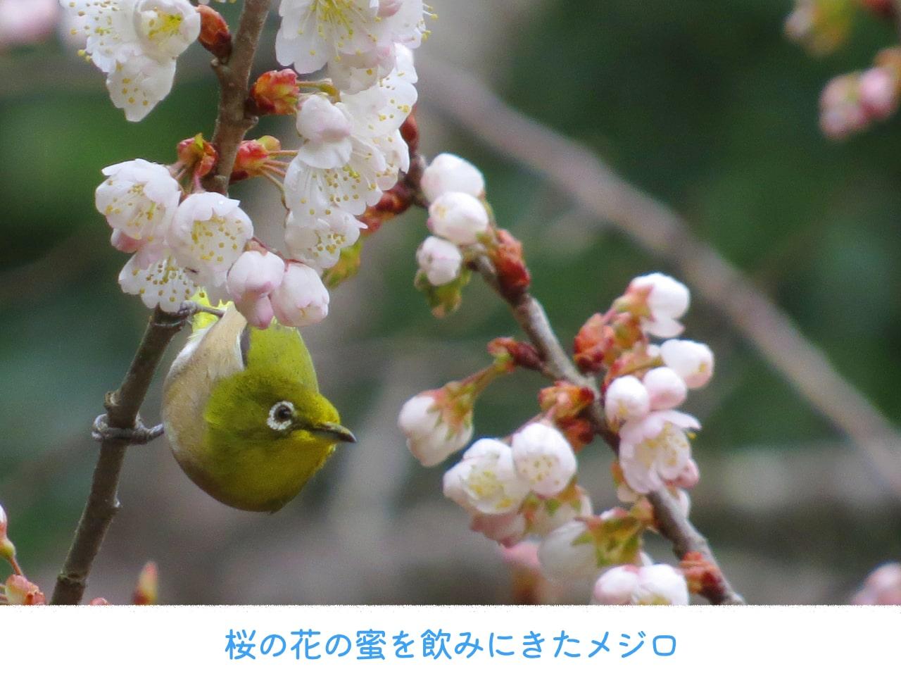 桜の木にやってきたメジロの画像