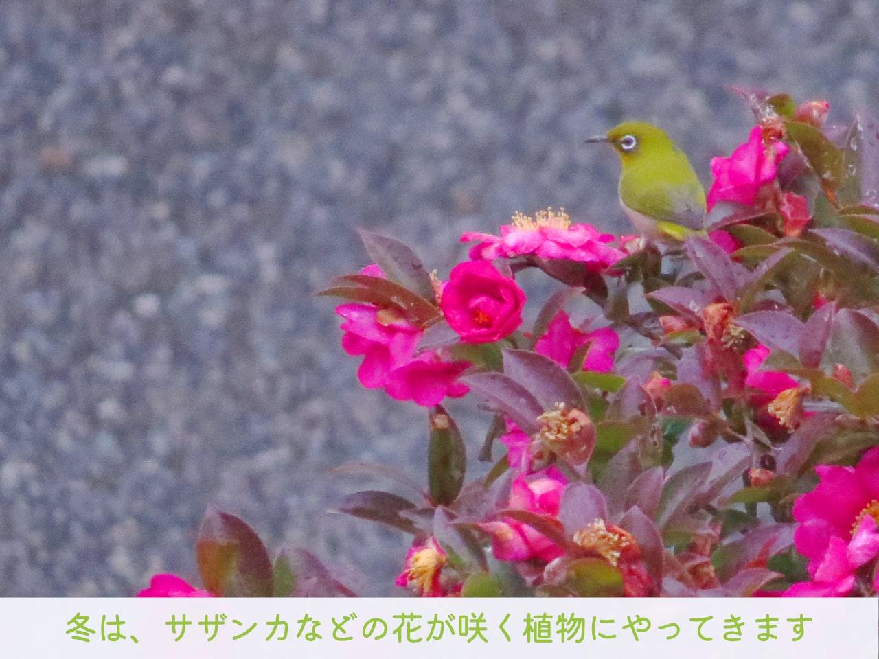 サザンカの花にやってきたメジロの写真