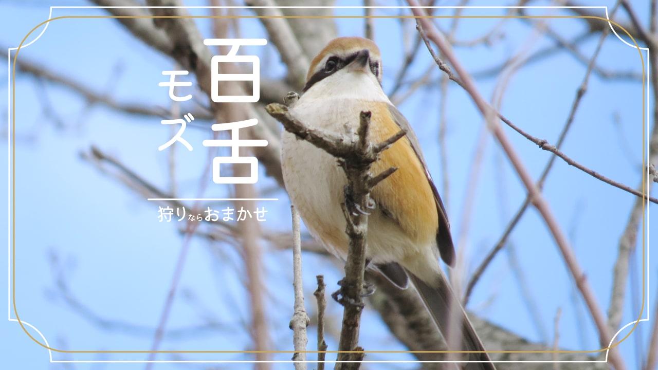 野鳥のモズってどんな鳥?特徴、はやにえ、鳴き声紹介!