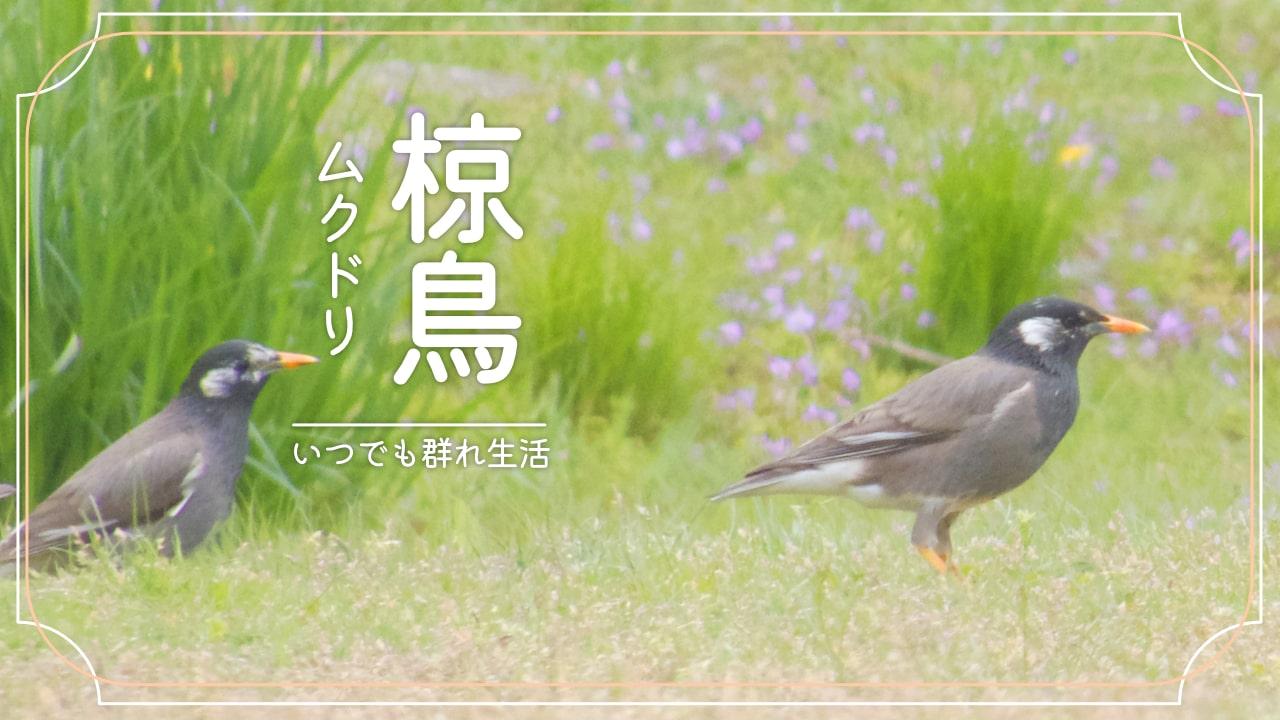 ムクドリってどんな鳥?かわいい?うるさい?