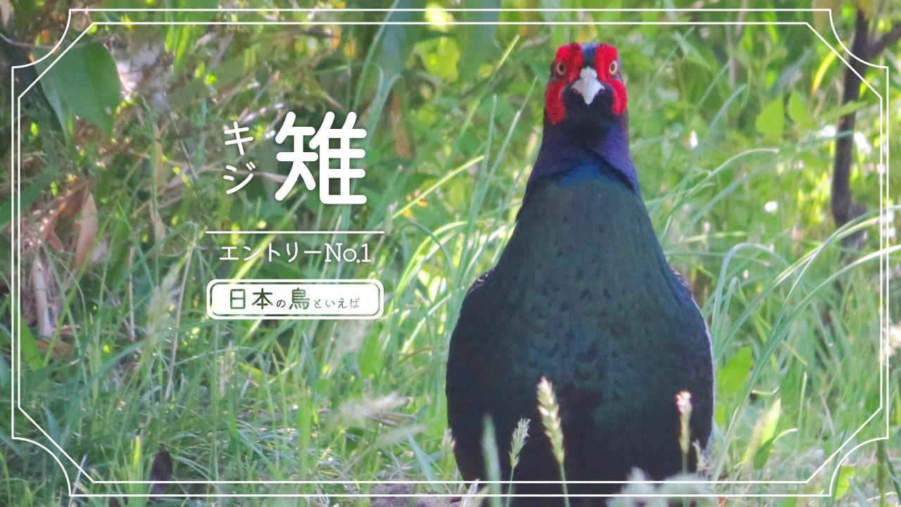 日本の鳥といえば国鳥のキジの写真