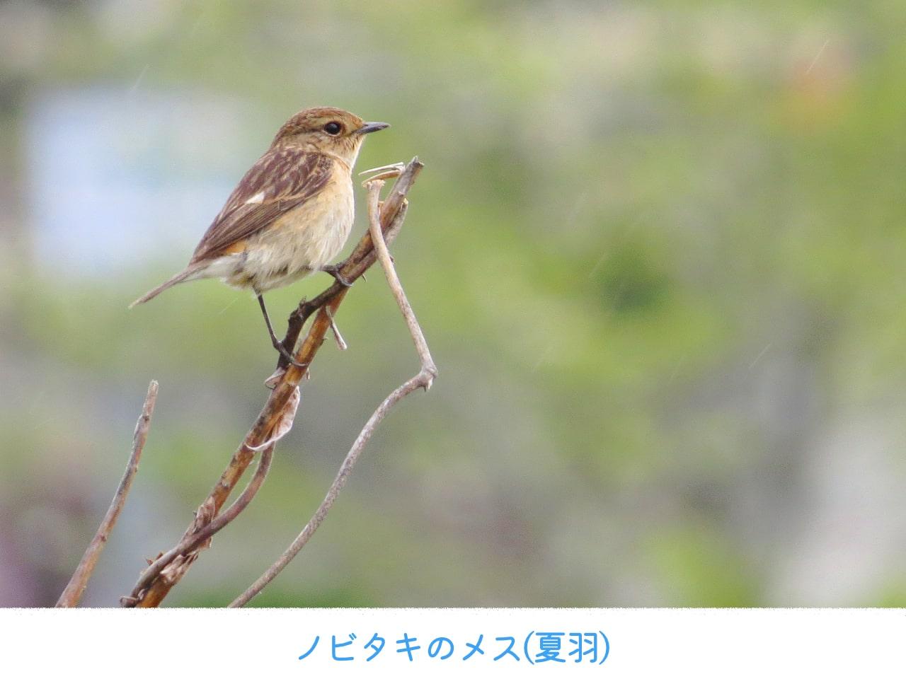 ノビタキのメスの夏羽
