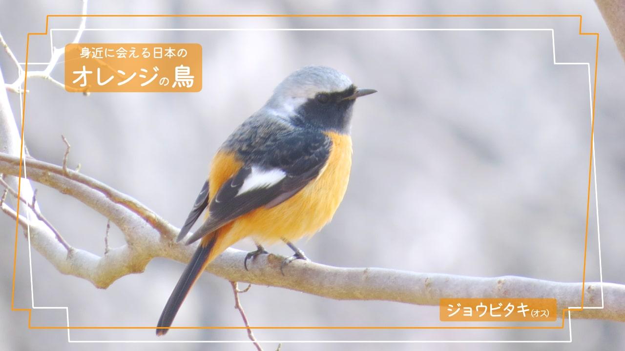 お腹がオレンジ色で翼が黒色、白い模様があるジョウビタキのオスの写真
