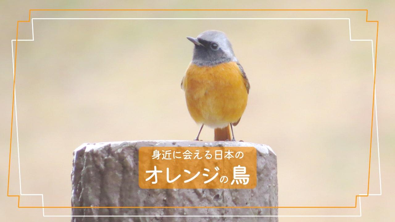 日本で会えるお腹がオレンジ色の鳥10種類を写真で紹介!!