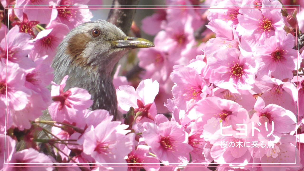 桜の木に来る鳥「ヒヨドリ」
