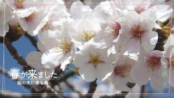 桜の木に来る鳥は?観察してみたら〇〇がよく来てました!