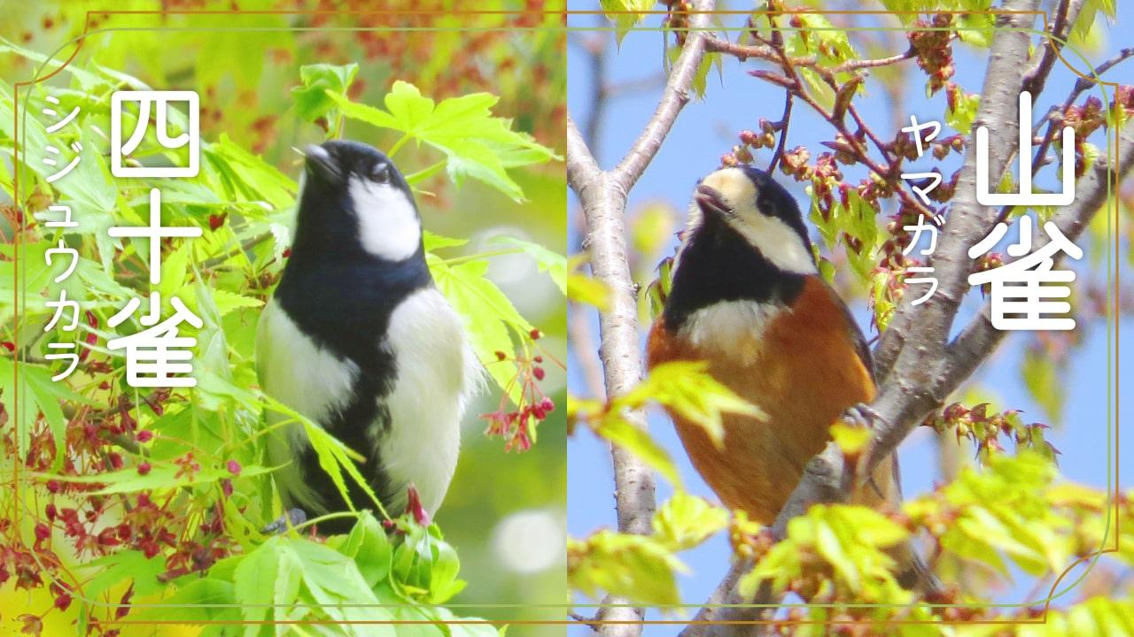 ヤマガラとシジュウカラの見た目の違いと観察で感じた行動の違い