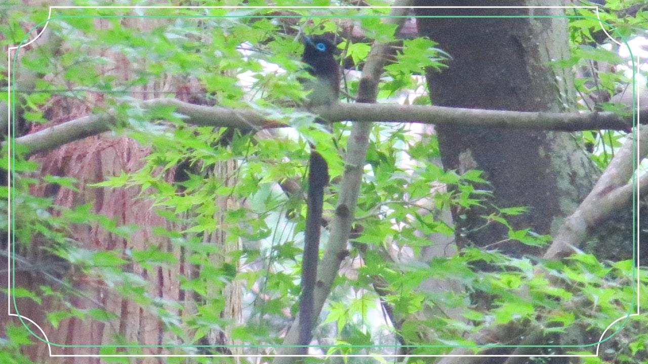 夏鳥のサンコウチョウの写真