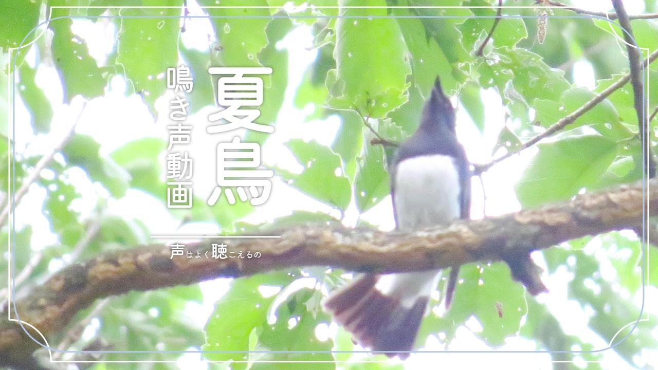 夏鳥の鳴き声が聞ける動画集。鳴き声の調べ物にどうぞ。
