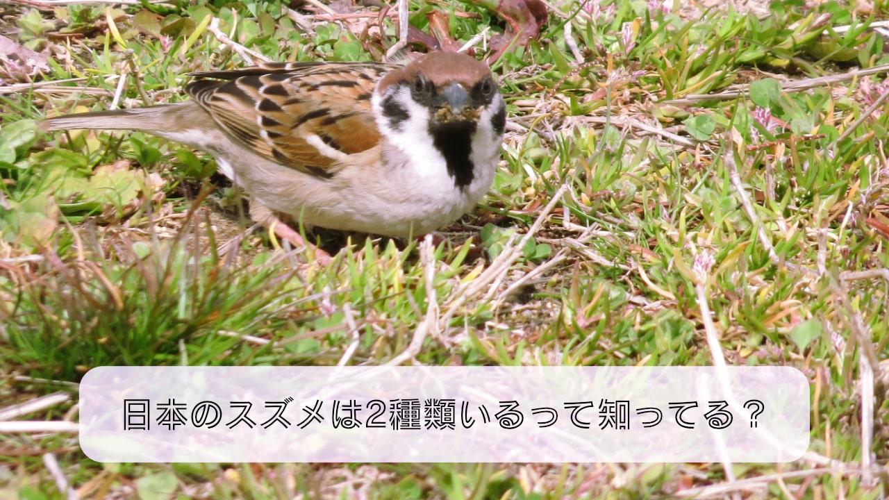 日本のスズメは2種類いるって知ってる?ハワイのスズメもご紹介