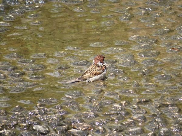スズメの水浴び写真