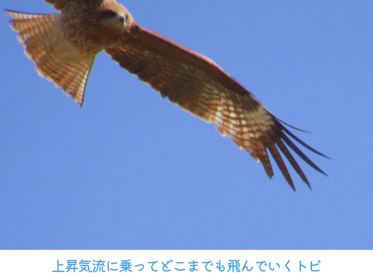 空を飛ぶトビの画像