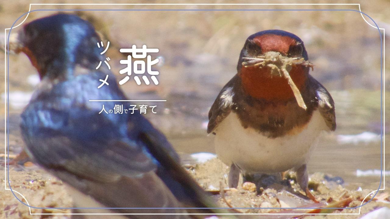 ツバメってどんな鳥?春にやってくる渡り鳥!人の側で子育ても!