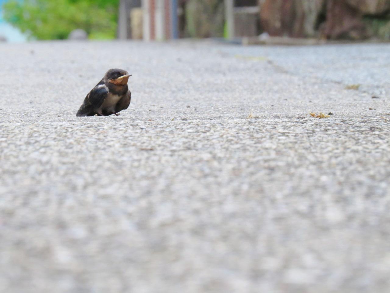 道端に落ちていたツバメの雛