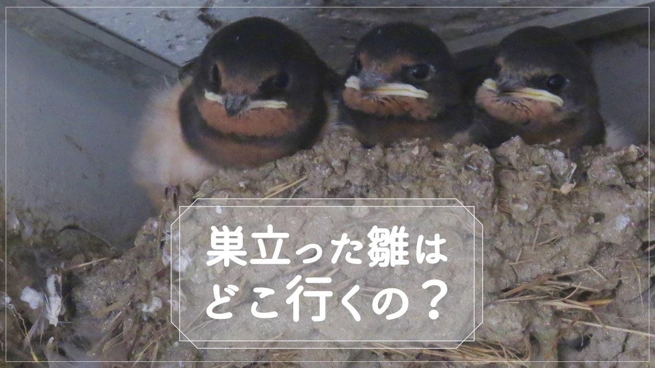 ツバメの雛は巣立つと、どこに行くの?