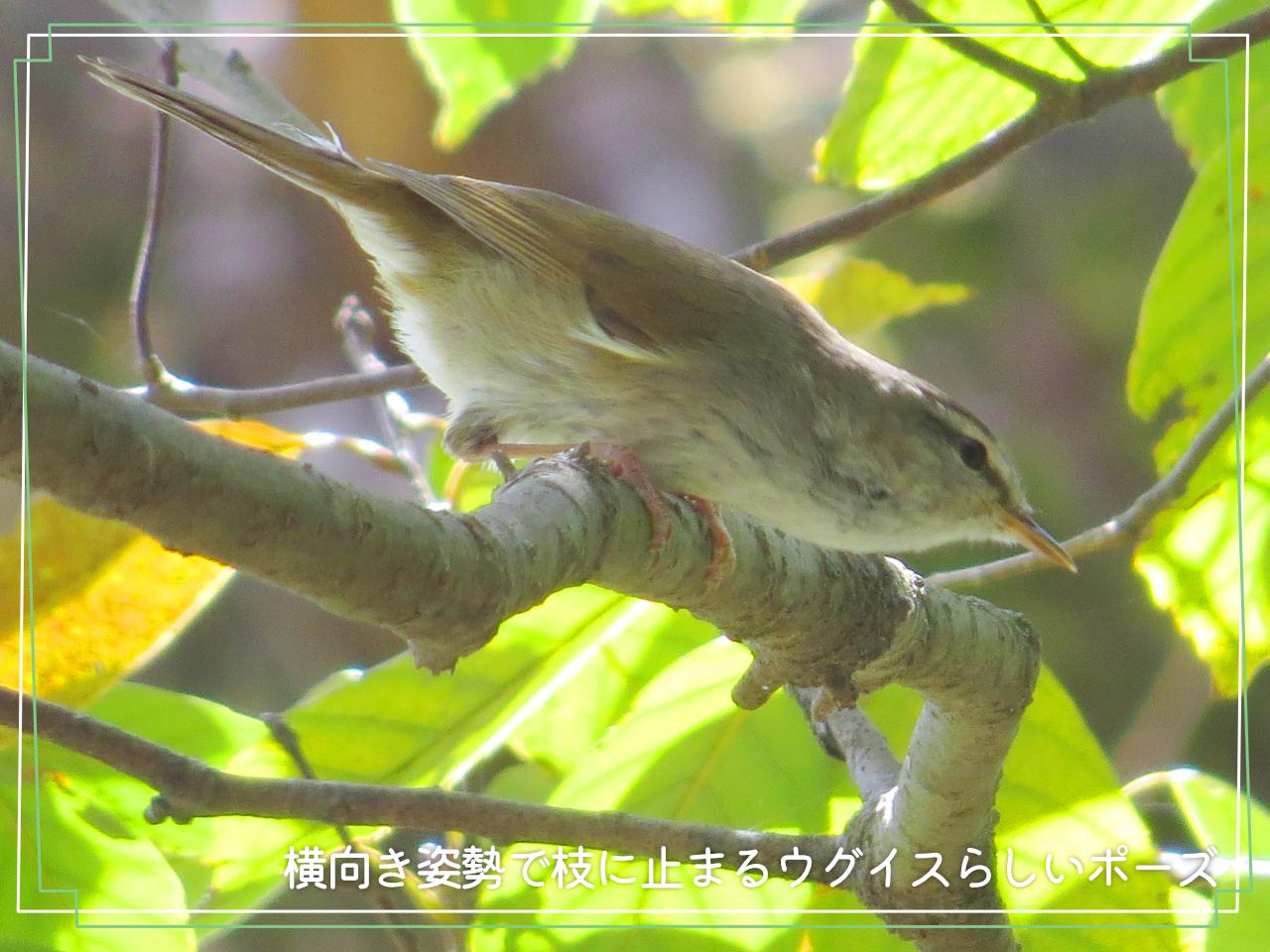 体を横向きにして枝にとまるウグイスの写真