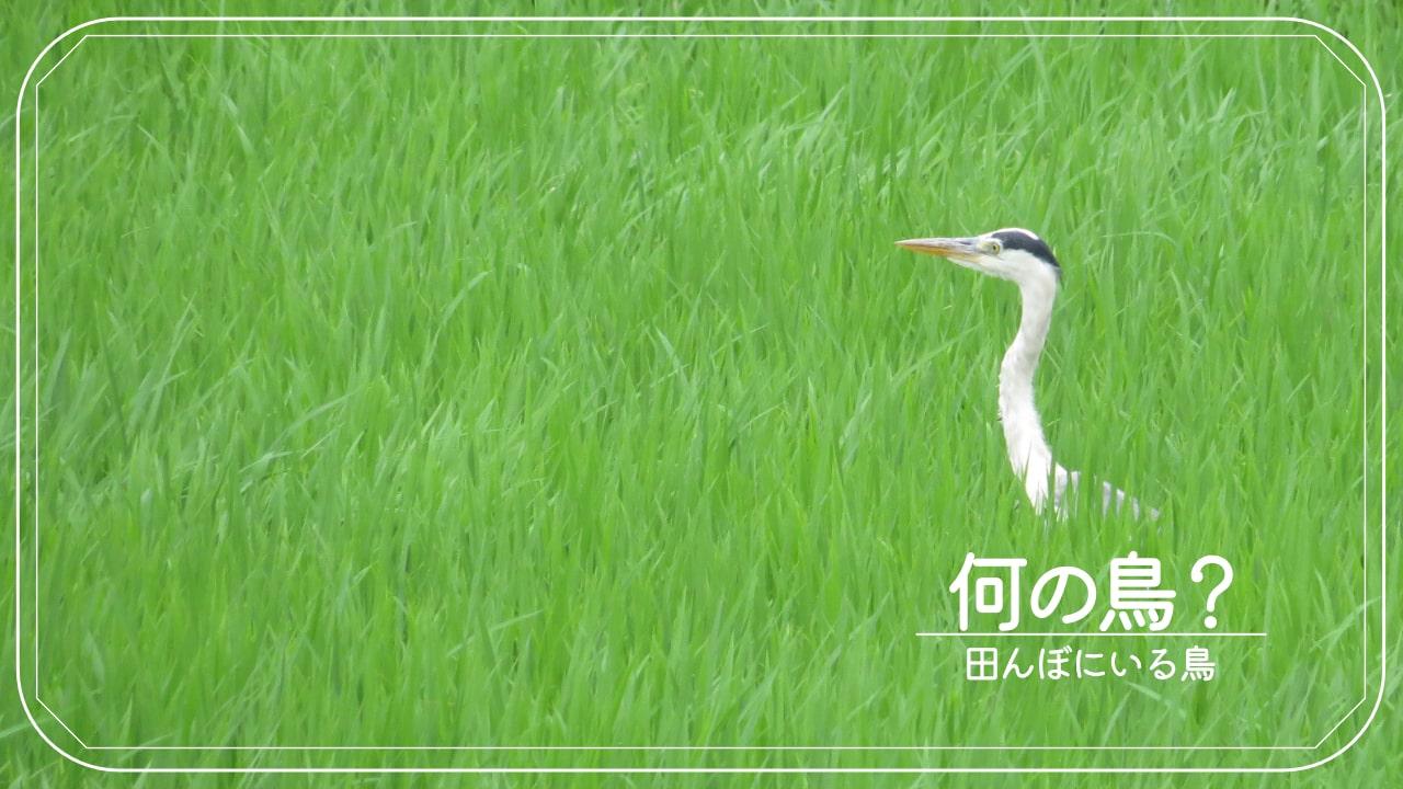 この鳥、見たことある?田んぼにいる鳥20種類を写真で紹介!!