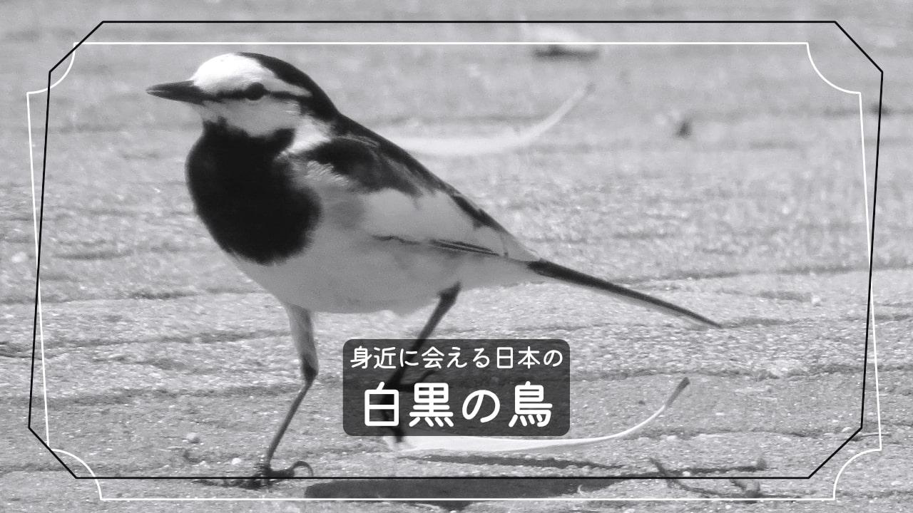白黒の鳥を見かけたけど、名前は何?【7種類を紹介】