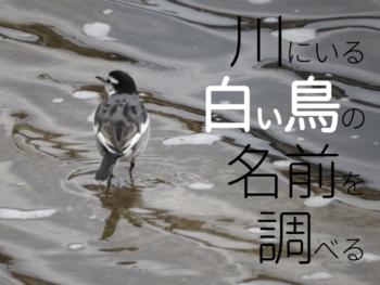 川にいる白い鳥の名前を調べる
