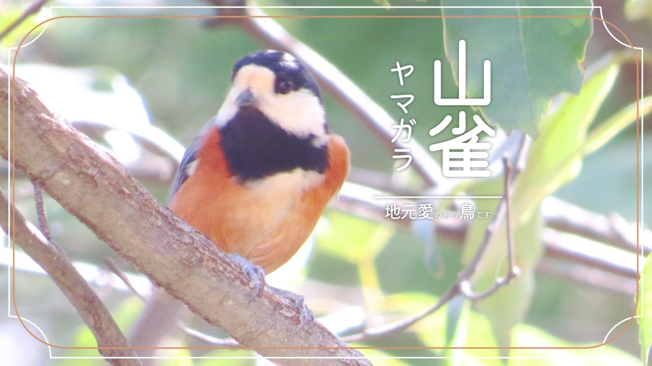 ヤマガラってどんな鳥?地元愛が強いアツい鳥!