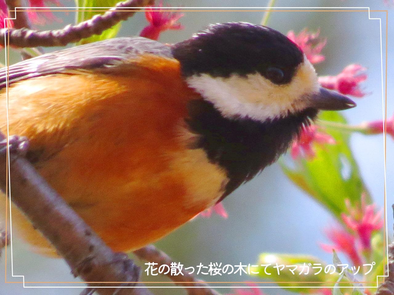 ヤマガラの顔のアップの写真