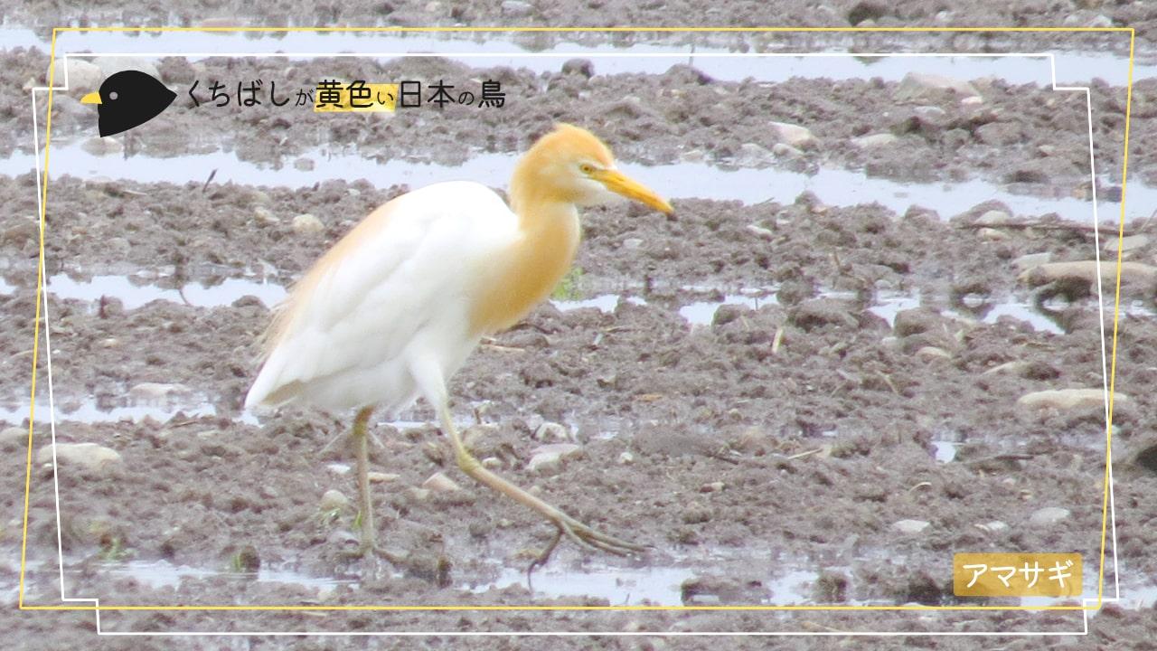 が 黄色い くちばし 野鳥図鑑(森・林とその周辺の鳥)