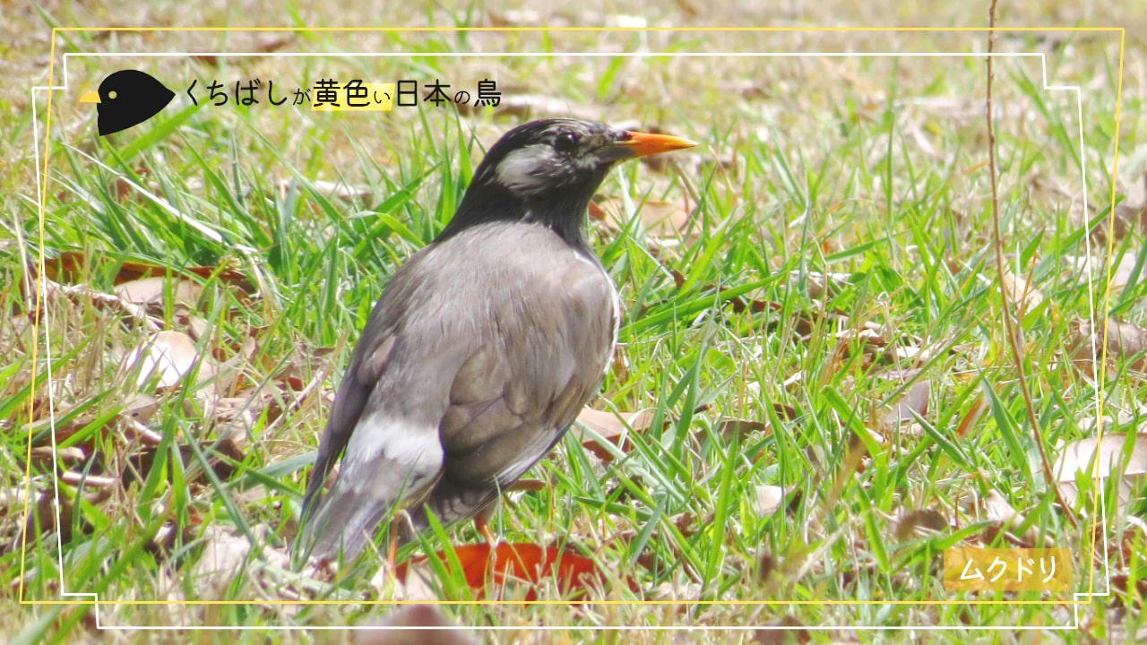 黄色いくちばしの鳥「ムクドリ」の写真