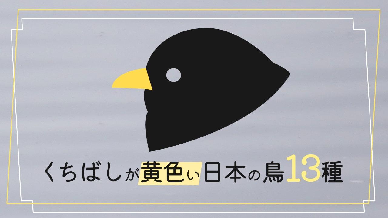 日本にいる【くちばしが黄色い鳥13種】を写真付きで紹介します!