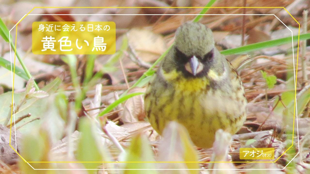 身近に会える黄色い鳥「アオジ」のオスの写真